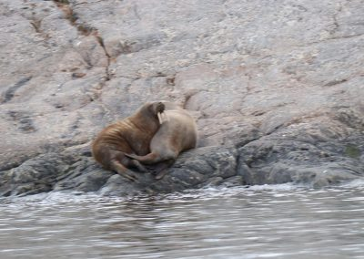 playful Walurus