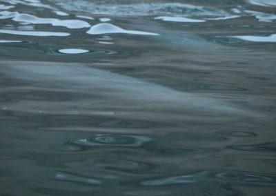 wave of beluga whales