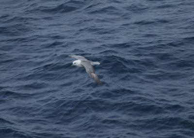 sea bird over arctic ocean