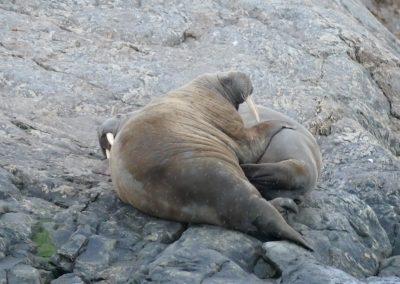 playful walrus
